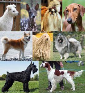 morfología del perro. razas