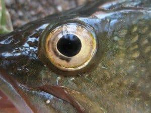 ojo frsco 300x225 1 Pescado y marisco fresco ¿cómo podemos reconocerlo?