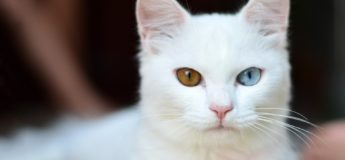 gato blanco ojos dispares. sordera