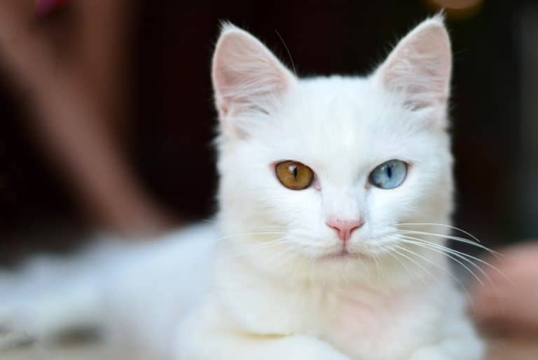 gatos blancos. ojos dispares. sordera