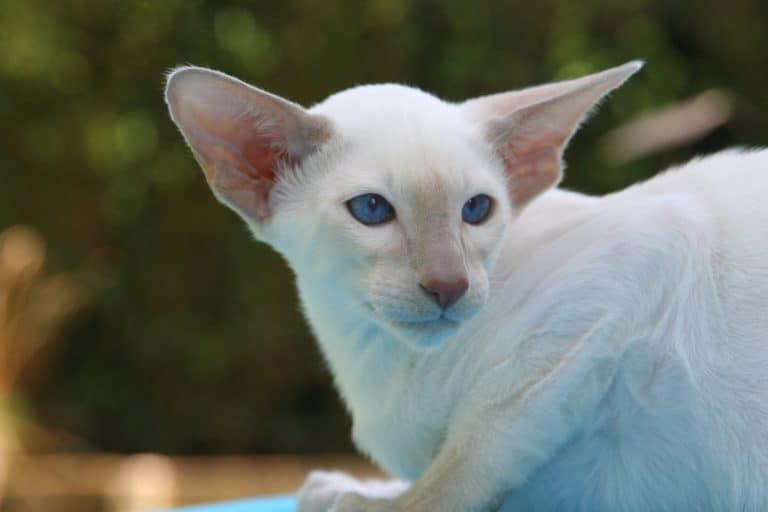 gato siames albino